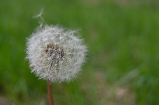 Learning to love dandelions