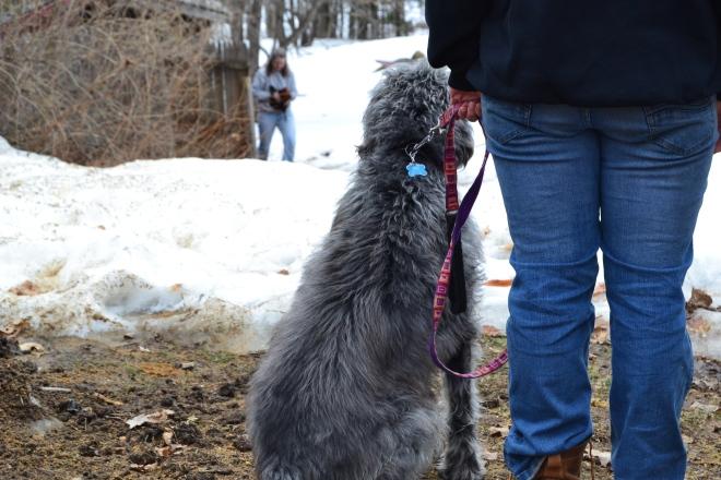 train a dog to be off leash around farm animals
