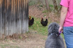 training a dog to be off leash around free-ranging birds