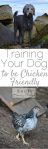 training-your-dog-to-be-chicken-friendly
