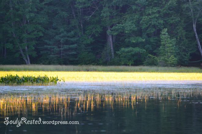 river pickerel weeds