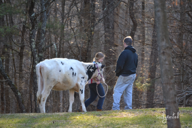 Walking the cow to the stable