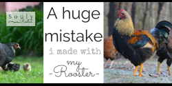 rooster-mistake-fb-2